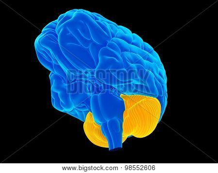 medically accurate illustration of the cerebellum