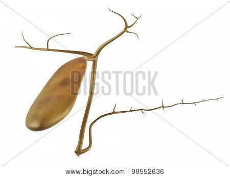 medically accurate illustration of the gallbladder