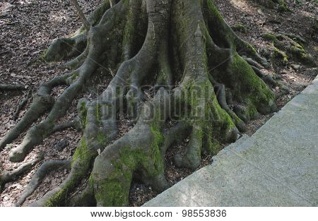 Old mossy roots
