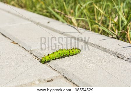 Butterfly Caterpillar On Paving Stones