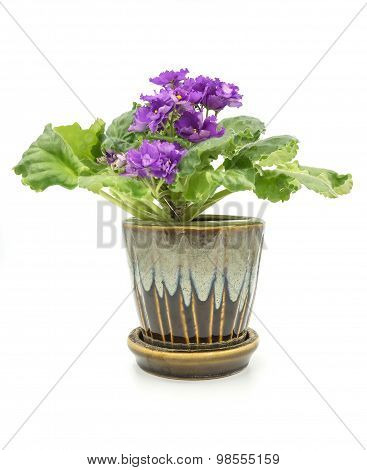 African Violet Isolated On White Background.