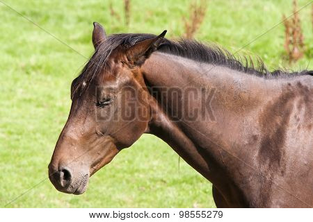 Bay Horse With Eyes Closed