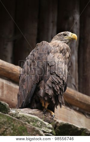 White-tailed eagle (Haliaeetus albicilla), also known as the sea eagle. Wild life animal.