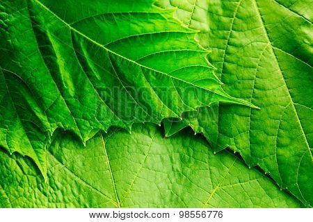 Fresh green leaf background macro close-up
