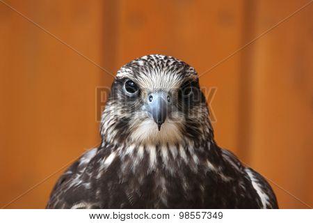 Saker falcon (Falco cherrug). Wild life animal.