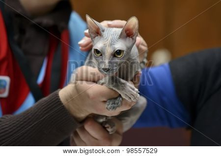 Sphynx cat being held at cat show