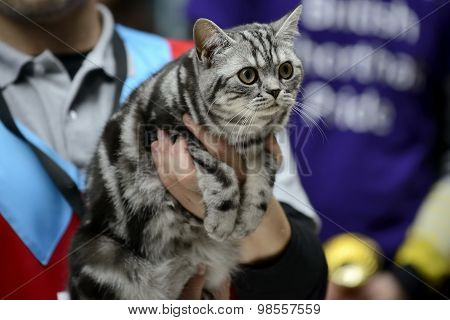 American Shorthair cat being held at cat show