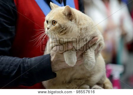 Cream british shorthair cat being held at cat show