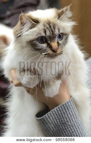 Birman cat being held at cat show