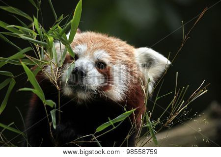 Red panda (Ailurus fulgens). Wild life animal.