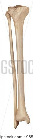 medically accurate illustration of the lower leg bones