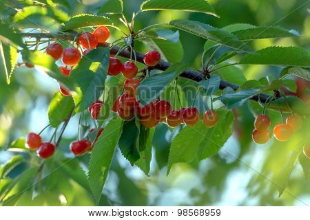 red cherry on tree closeup