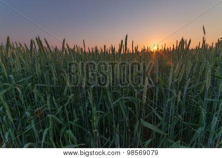 wheat field and orange sky