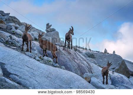 Wild mountain goats in Alps rock