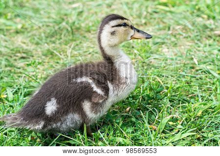 baby duckling in the grass