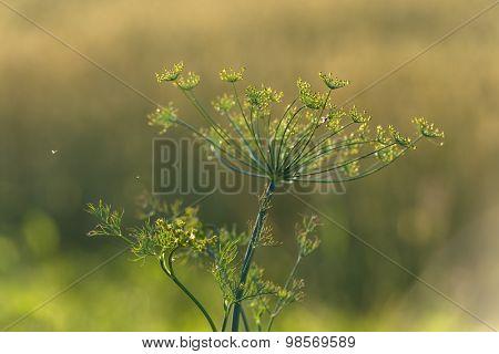 Green dill flower close up
