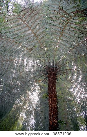 New Zealand Tree Fern In Mist