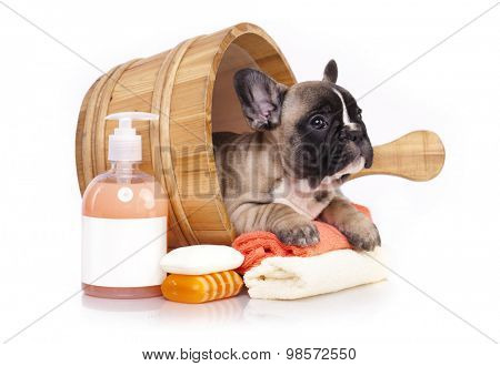 French bulldog puppy in wooden wash basin