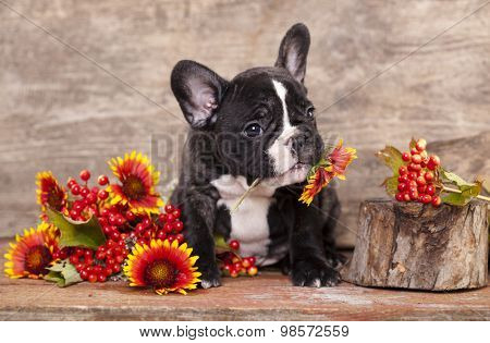 french bulldog dog in love holding a chamomile flower