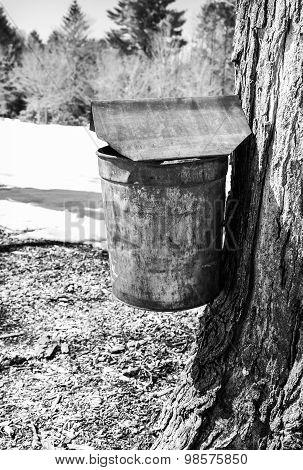 Rusty Vintage Maple Syrup Bucket On Tree