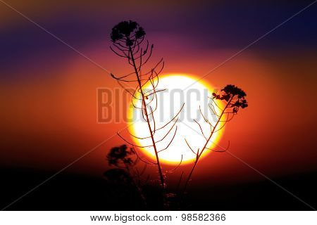 wild flower against big sun at sunset time