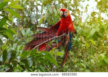 Parrot Macaw - Ara Ararauna In The Rainforest Perching On A Branch, Ecuador