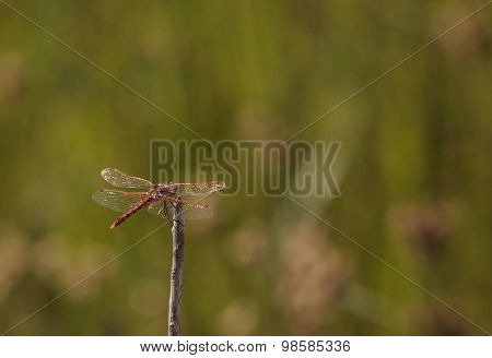 Red rock skimmer dragonfly, Paltothemis lineatipes