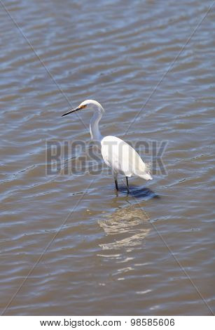 Snowy Egret, Egretta thula, forages in  marsh