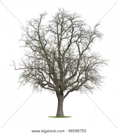 Tree Isolated in a white background