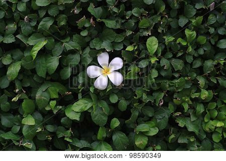 Plumeria Flower On A Background Of Green Leaf