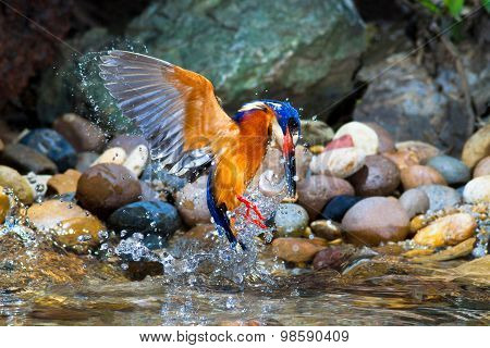 Blue-eared Kingfisher