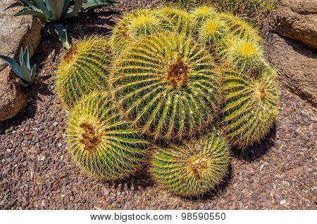 Echinocactus grusonii aka Golden Barrel Cactus