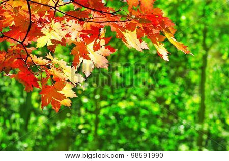 red maple leaves on the green fall forest background