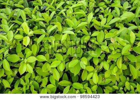 Close Up Green Leaves Wall Background