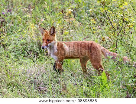 wild fox in a forest glade.