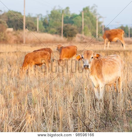 Group Of Brown Cow Eating Dry Grass On The Farm In Rural ,thailand