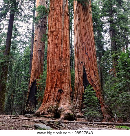Tall Forest of Sequoias, Sequoia National Park