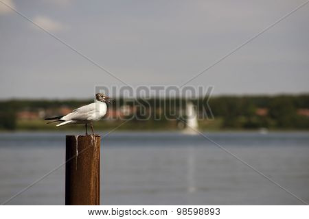 Garish Black-headed Gull