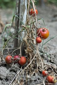 stock photo of drought  - The consequences of prolonged drought in the vegetable garden.The concept of global warming and prolonged drought.