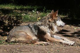 image of lupus  - Eurasian wolf  - JPG