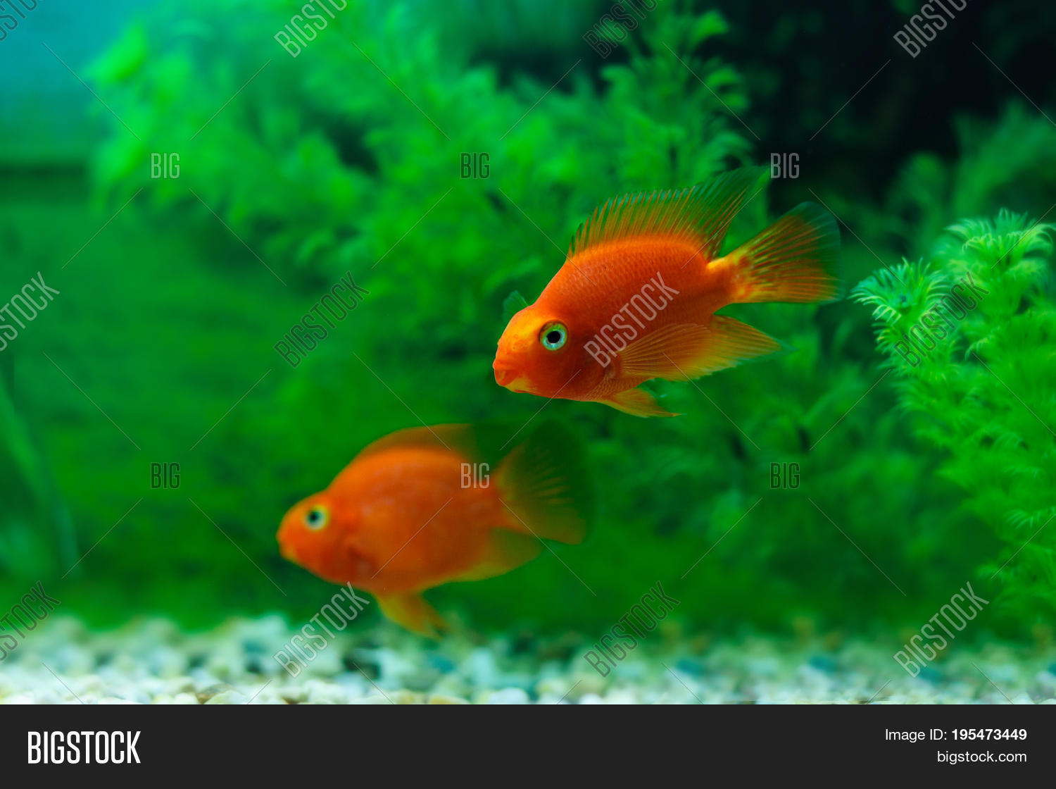 Blood Parrot Cichlid Fish Profile  Care and Tank Mates