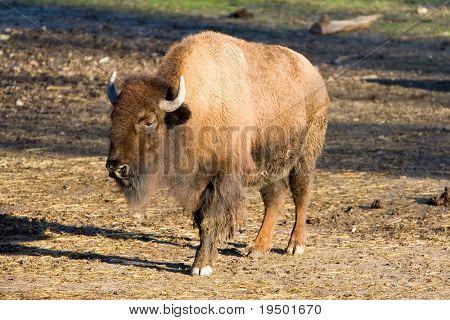 American Bison - Buffalo