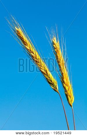 stems of the rye over the bright blue sky