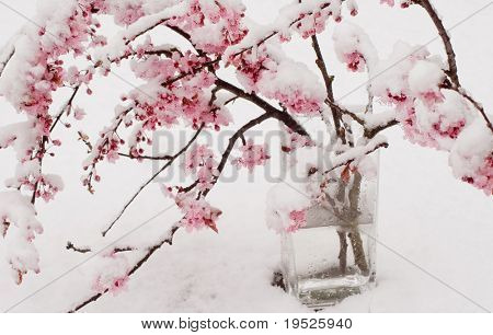 branches of cherry blossoms covered in snow