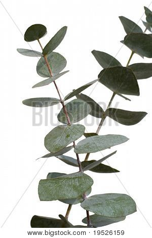 pair of eucalyptus stems isolated on white