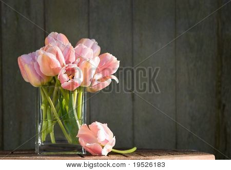 pink tulips catch the morning sun - wooden fence background