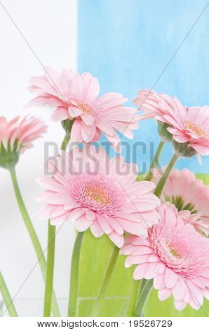 pink daisies on fresh background
