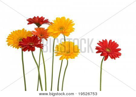 daisies - concept: together & alone - isolated on white