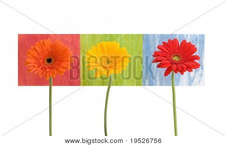 daisies - three - on colored squares - isolated on white