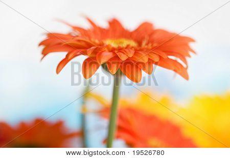 single daisy on fresh sky background - side view - very narrow DOF
